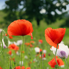 Wild poppies by Milan Horejsi - Flowers Flowers in the Wild ( red poppy, papaver rhoeas, poppies, flanders poppy )