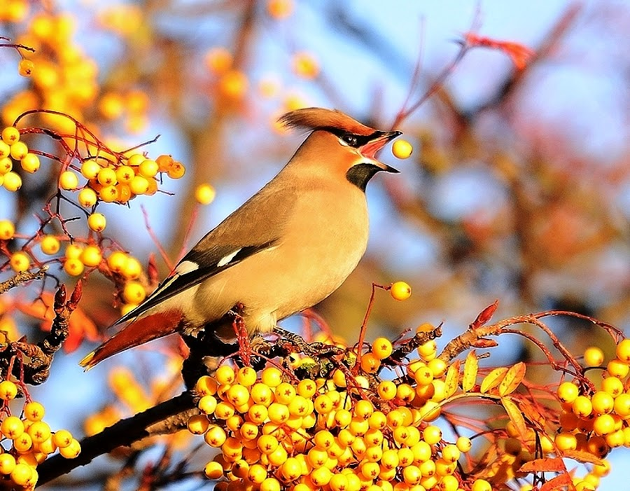 Waxwing juggling by Brian Stevenson - Animals Birds