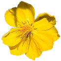 Mai Flower Live Wallpaper icon