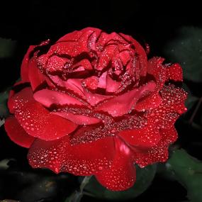 by Şahin Kaplan - Flowers Single Flower