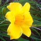 Stella De Oro lily
