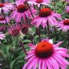 """Echinacea """"Merlot"""""""