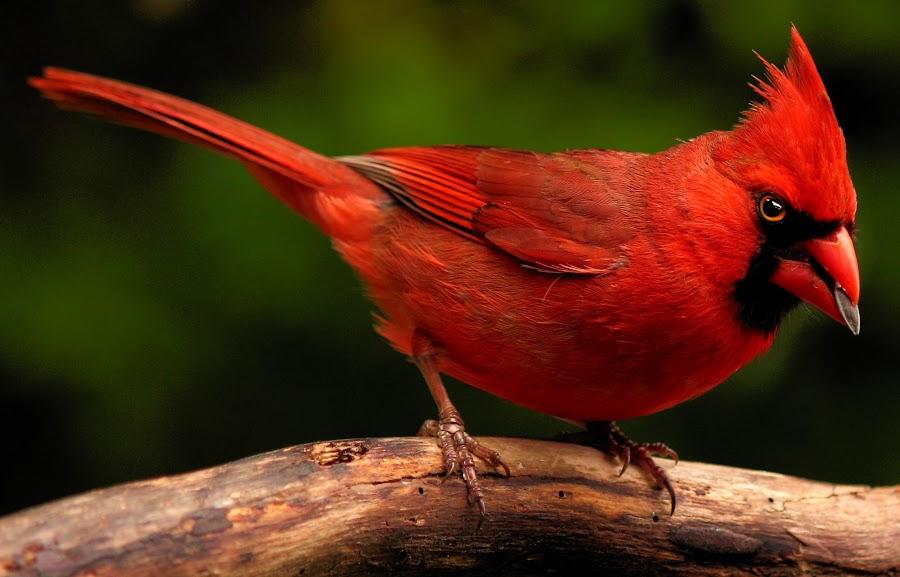 Male Kentucky Cardinal by Paul Mays - Animals Birds ( bird, cardinal, nature, birds, kentucky,  )