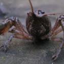 Crayfish (Crawdad)