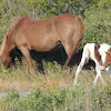 Assateague Wild Horses