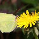 Zitronenfalter or Common Brimstone