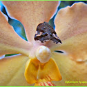 Ricaniid Planthopper