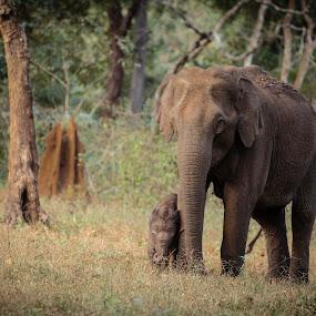 KeralaNagarhole_20110216_13.50.59 by . Reedd2 - Animals Other Mammals ( elephant, nagarhole, kerala, india, south india, elephant calf, karnataka,  )