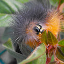 Salt Marsh Moth (Caterpillar)