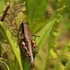 Green-legged grasshopper