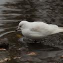 Ring-billed Gull (leucistic)