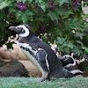 Hümboldt Penguin
