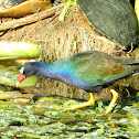 Purple Gallinule (adult)