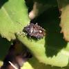 Mottled Shieldbug - Kněžice mlhovitá