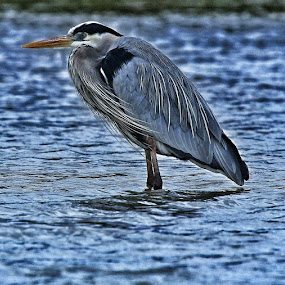 My feet are cold by Deb Bulger - Animals Birds ( great blue heron, nature, waterfowl, cold birds, wildlife, blue birds, birds,  )