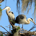 Great Blue Herons - Nesting