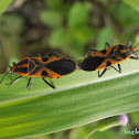 mating Red Cotton Bug