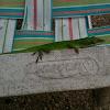 Green anole (lizard)
