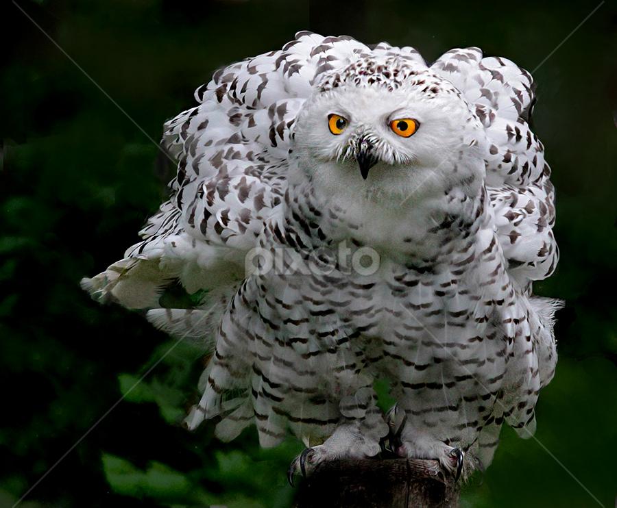 Ruffled Feathers by John Larson - Animals Birds