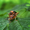 Soldier Beetles, mating