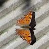 Southern Comma Butterfly (Πολυγωνία του Αιγαίου)