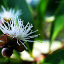 south indian plum