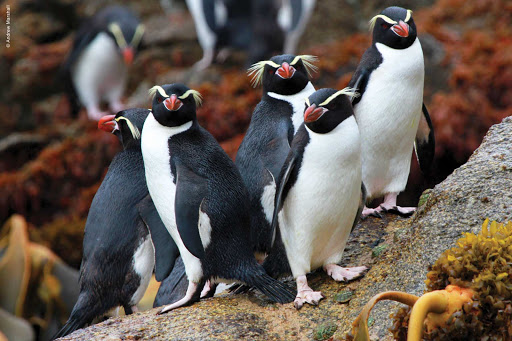 Silversea-Silver-Discoverer-rockhopper-penguins - Silver Discoverer takes you to visit festively festooned rockhopper penguins in New Zealand.
