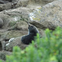 new zealand fur seal (kekeno)