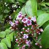 Carambola flowers/fruit