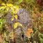 Bald-Faced Hornet (Nest)