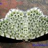 Geometridae, Geometrinae