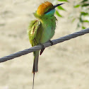 Small Green Bee eater