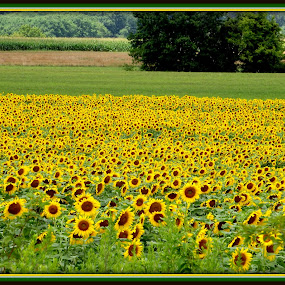 Colors of Hope by Donna Pavlik - Flowers Flowers in the Wild ( field of flowers, faces of hope, colors, sunflowers, sunflower, farmland, beauty, ringoes nj, new jersey, farm, happy, serenity, crops, sunshine, nj, flowers, fields, hope,  )