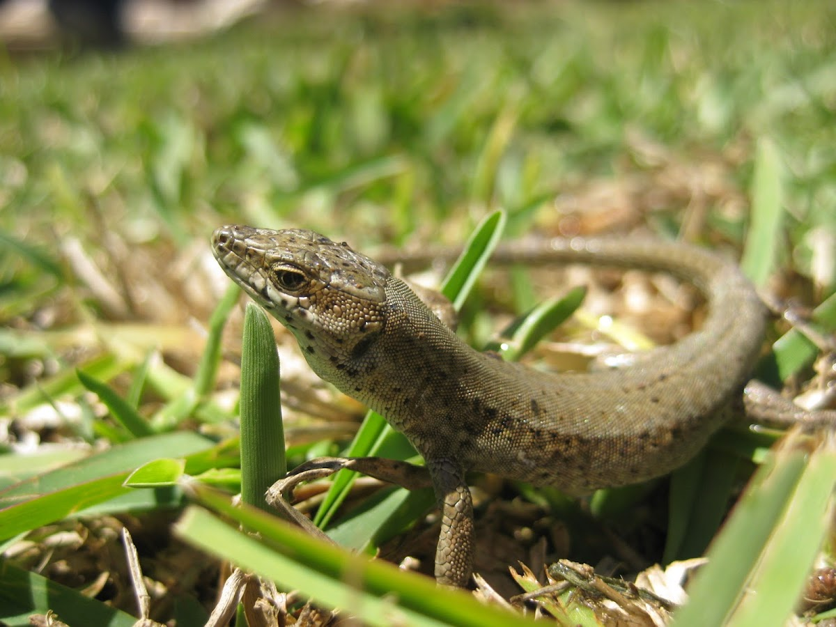 iberian wall lizard; lagartija ibérica