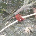 Red Grasshawk, Common Parasol Dragonfly