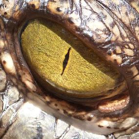 crocodile eye by Vaibhav Shende - Animals Reptiles ( crocodile eye,  )