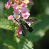 Scaly Bee Fly