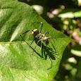 Myrmecomorphy (ant mimics)