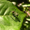 Golden Carpenter Ant mimic spider