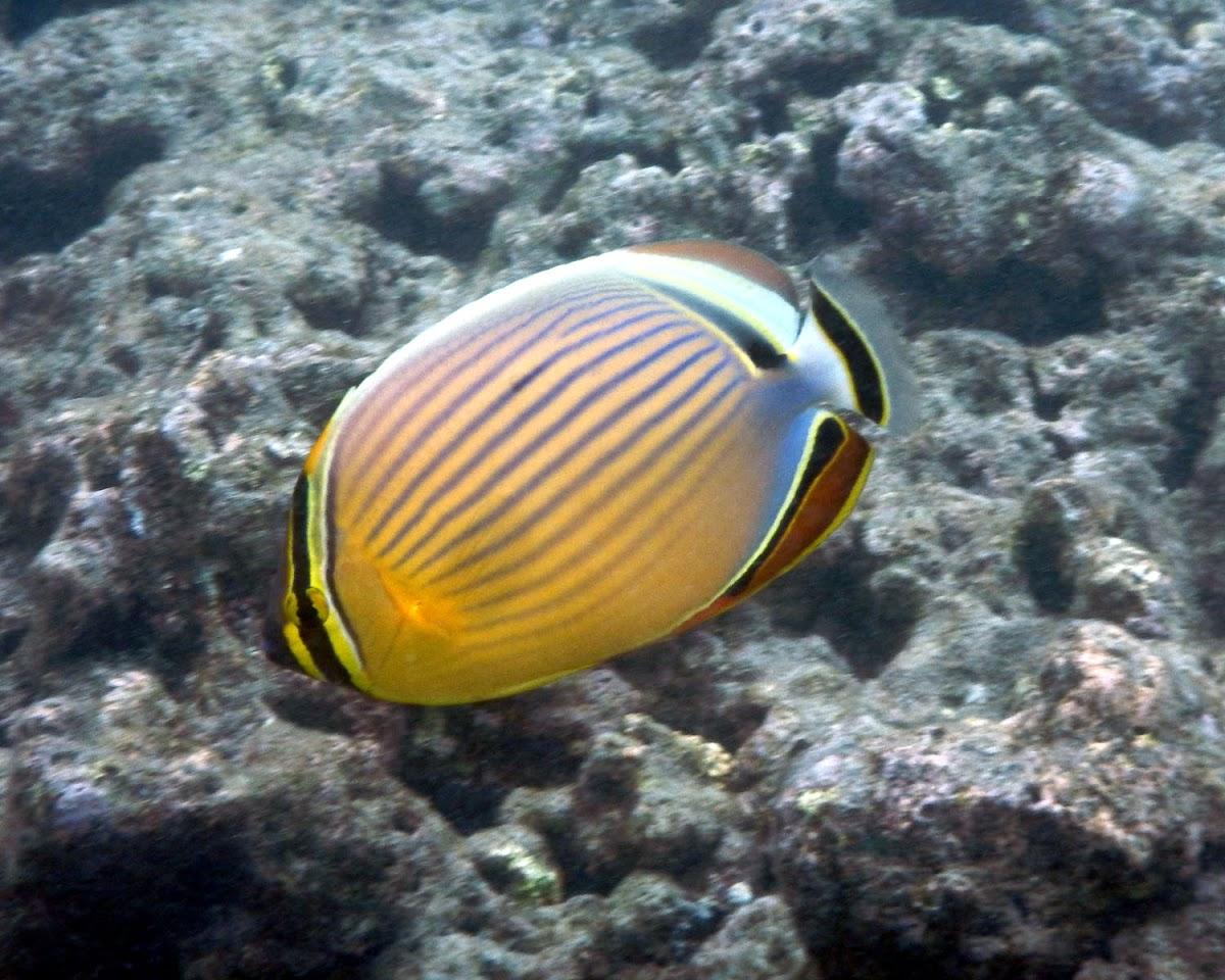Oval Butterflyfish