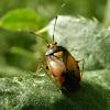 Lygus bug