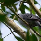 Blue-ground Dove