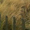 European Marram Grass