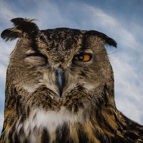 Sleepy by Eva Lechner - Animals Birds ( bird, cape eagle-owl, bubo capensis, portrait,  )