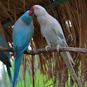 Blue Indian Ringneck  Parrot Mutations