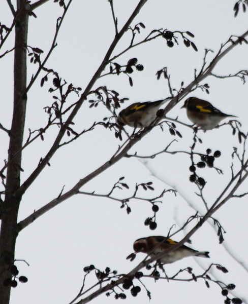 European Goldfinches / Stieglitze