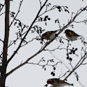 European Goldfinches / Stieglitze