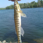 Logperch Darter