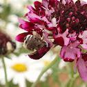 Anthophorid bee