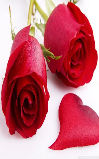 Red Rose True Love Wallpaper